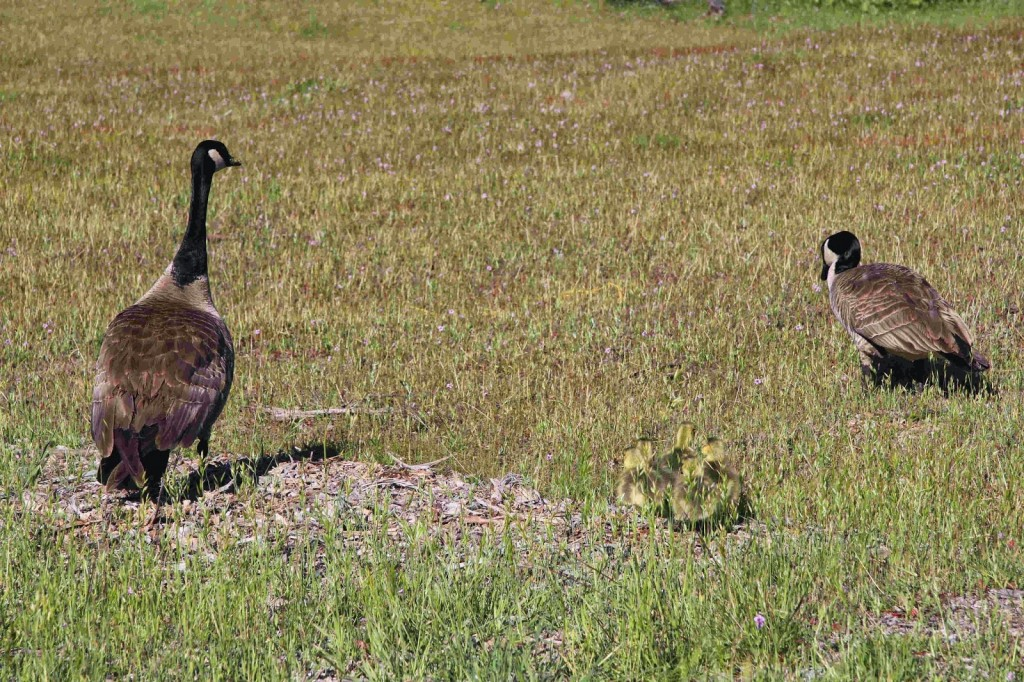 The barn geese with goslings