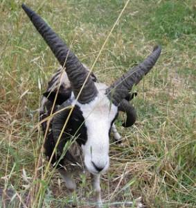 sheepdemon